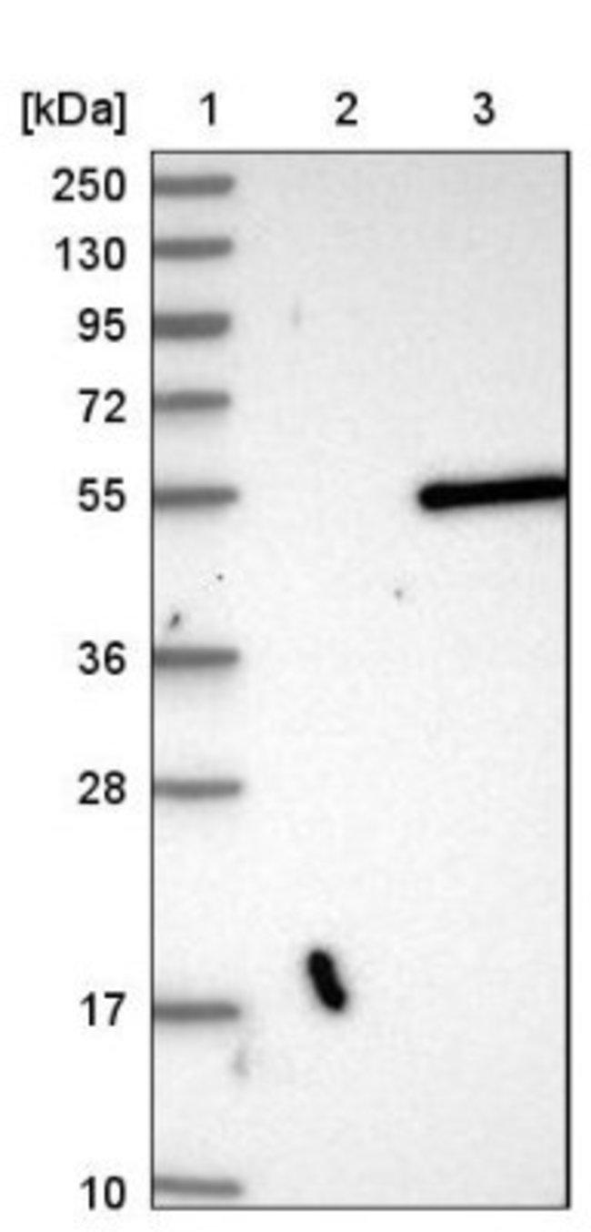 anti-CPA3, Polyclonal, Novus Biologicals 0.1mL; Unlabeled:Life Sciences