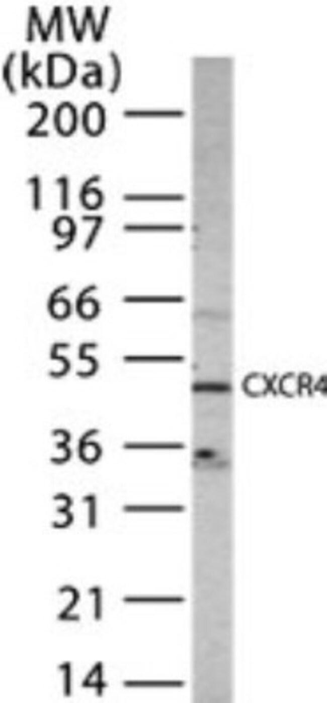 anti-CXCR4, Polyclonal, Novus Biologicals:Antibodies:Primary Antibodies