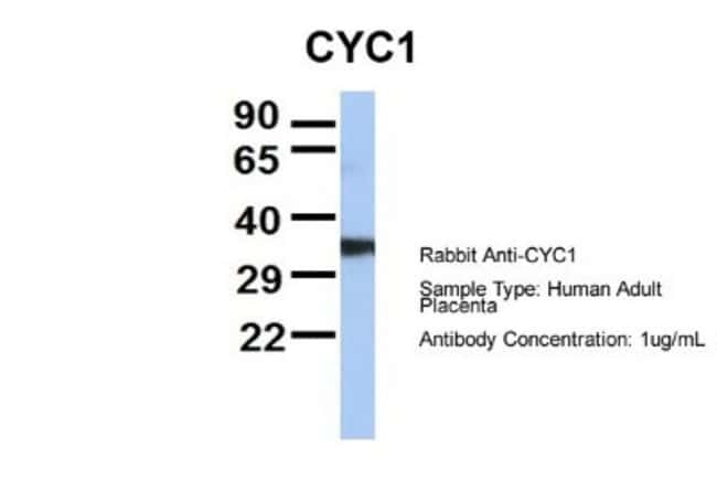 CYC1 Rabbit anti-Human, Mouse, Rat, Bovine, Canine, Equine, Guinea Pig,
