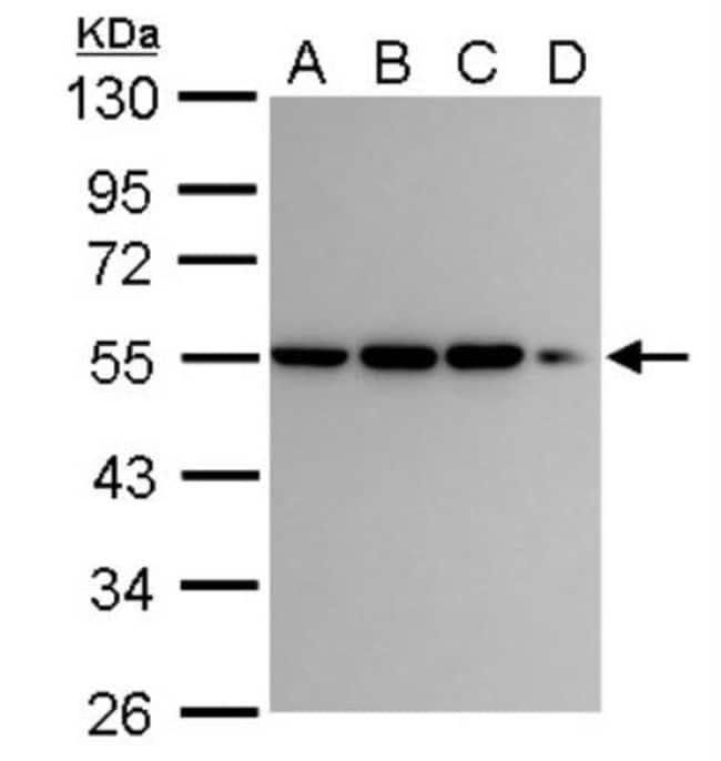 anti-CaMKI gamma, Polyclonal, Novus Biologicals 0.1mL; Unlabeled:Antibodies