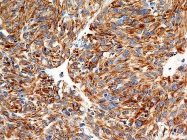 Mouse anti-Calnexin, Clone: IE2.1C12, Novus Biologicals:Antibodies:Primary
