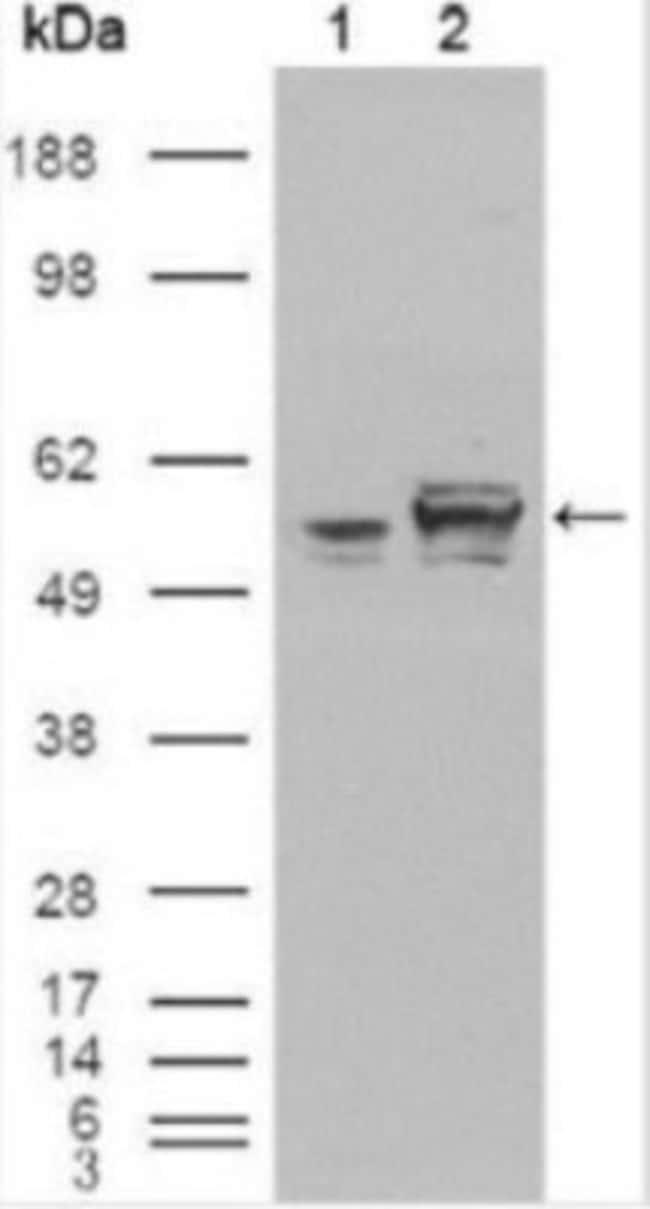 anti-Calreticulin, Clone: 1G6A7, Novus Biologicals 0.1mL; Unlabeled:Life