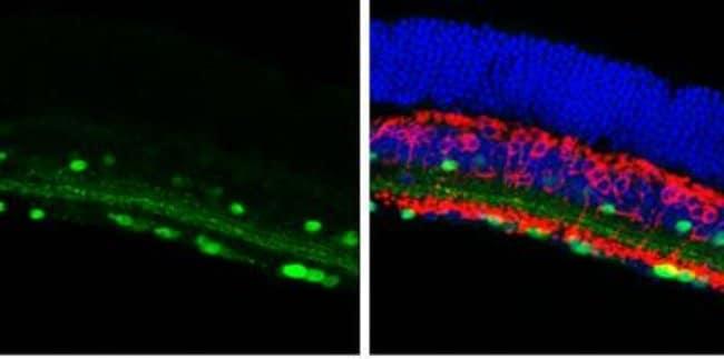 anti-Calretinin, Polyclonal, Novus Biologicals 0.1mL; Unlabeled:Life Sciences