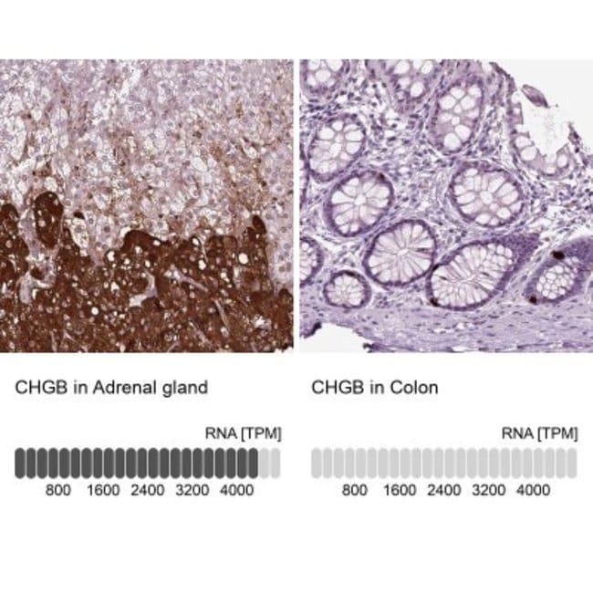 anti-Chromogranin B, Polyclonal, Novus Biologicals 0.1mL; Unlabeled:Life