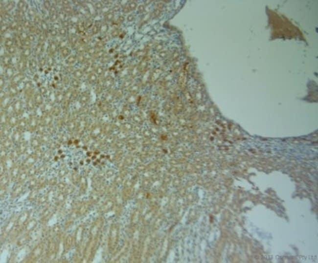 anti-Connexin 40/GJA5, Polyclonal, Novus Biologicals 0.1mL; Unlabeled:Life