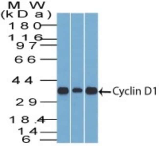 Mouse anti-Cyclin D1, Clone: DCS-6, Novus Biologicals:Antibodies:Primary
