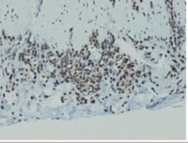 Rabbit anti-Cyclin D1, Clone: E16-I, Novus Biologicals 100µL; Unlabeled:Life