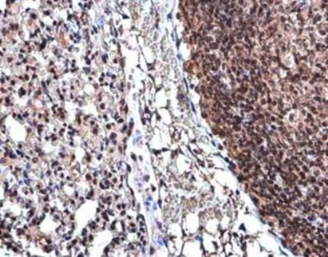 anti-Cyclin D3, Polyclonal, Novus Biologicals 0.1mL; Unlabeled:Antibodies
