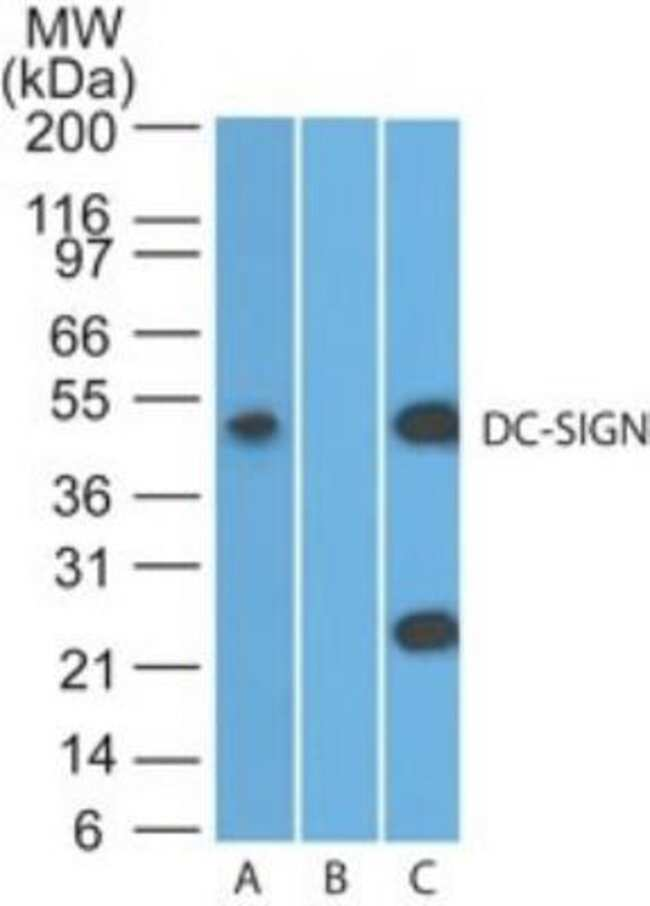 anti-DC-SIGN/CD209, Polyclonal, Novus Biologicals:Antibodies:Primary Antibodies