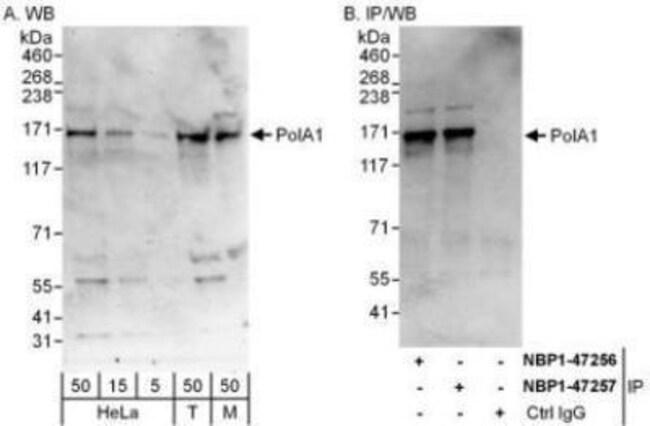 anti-DNA polymerase alpha, Polyclonal, Novus Biologicals 0.1mL; Unlabeled:Life