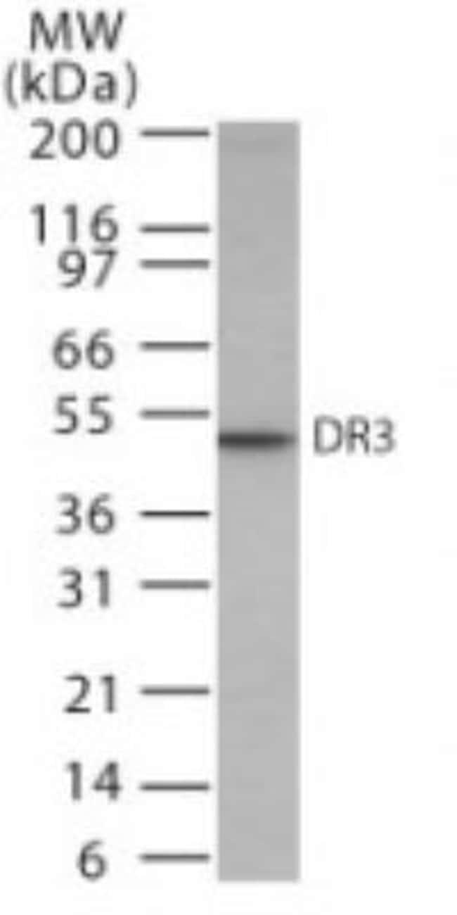 anti-DR3/TNFRSF25, Polyclonal, Novus Biologicals:Antibodies:Primary Antibodies