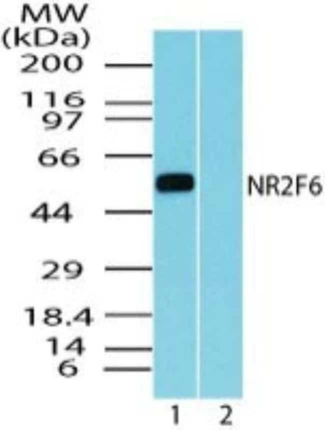 anti-EAR2/NR2F6, Polyclonal, Novus Biologicals:Antibodies:Primary Antibodies