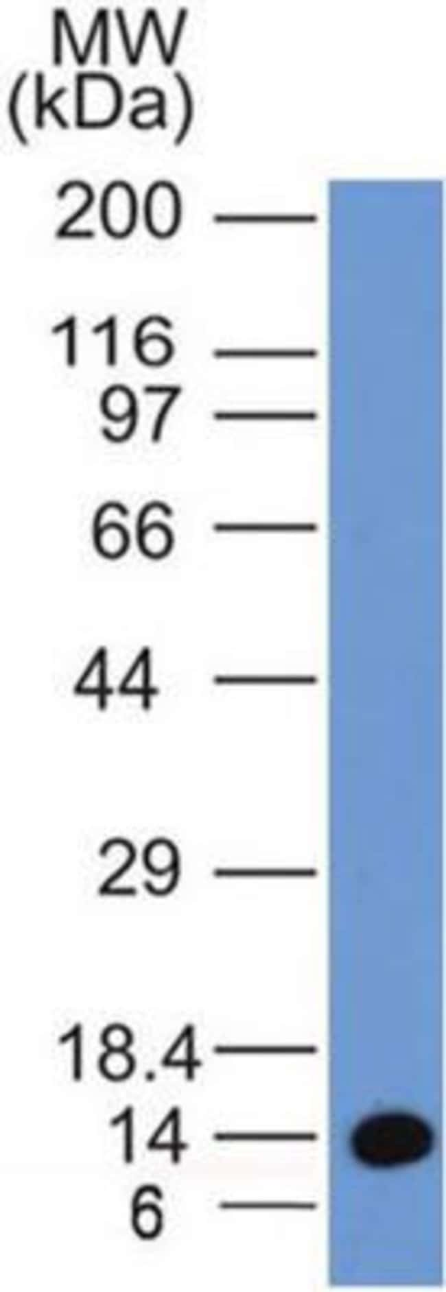 Mouse anti-EEA1, Clone: 6D4.1D4, Novus Biologicals:Antibodies:Primary Antibodies