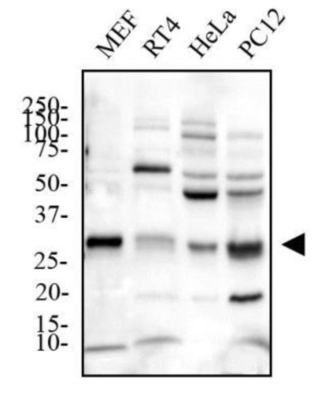 anti-EGLN3/PHD3, Polyclonal, Novus Biologicals:Antibodies:Primary Antibodies