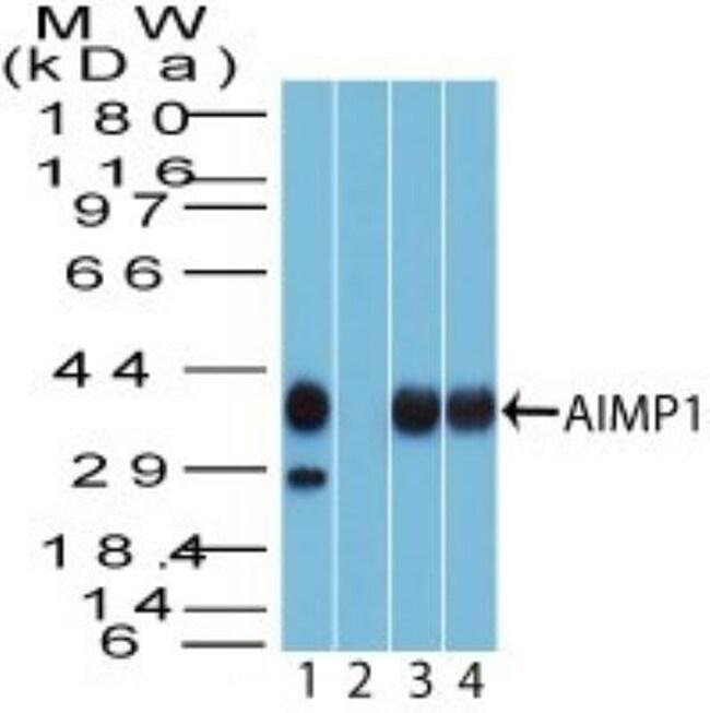 anti-EMAP-II/AIMP1, Polyclonal, Novus Biologicals:Antibodies:Primary Antibodies