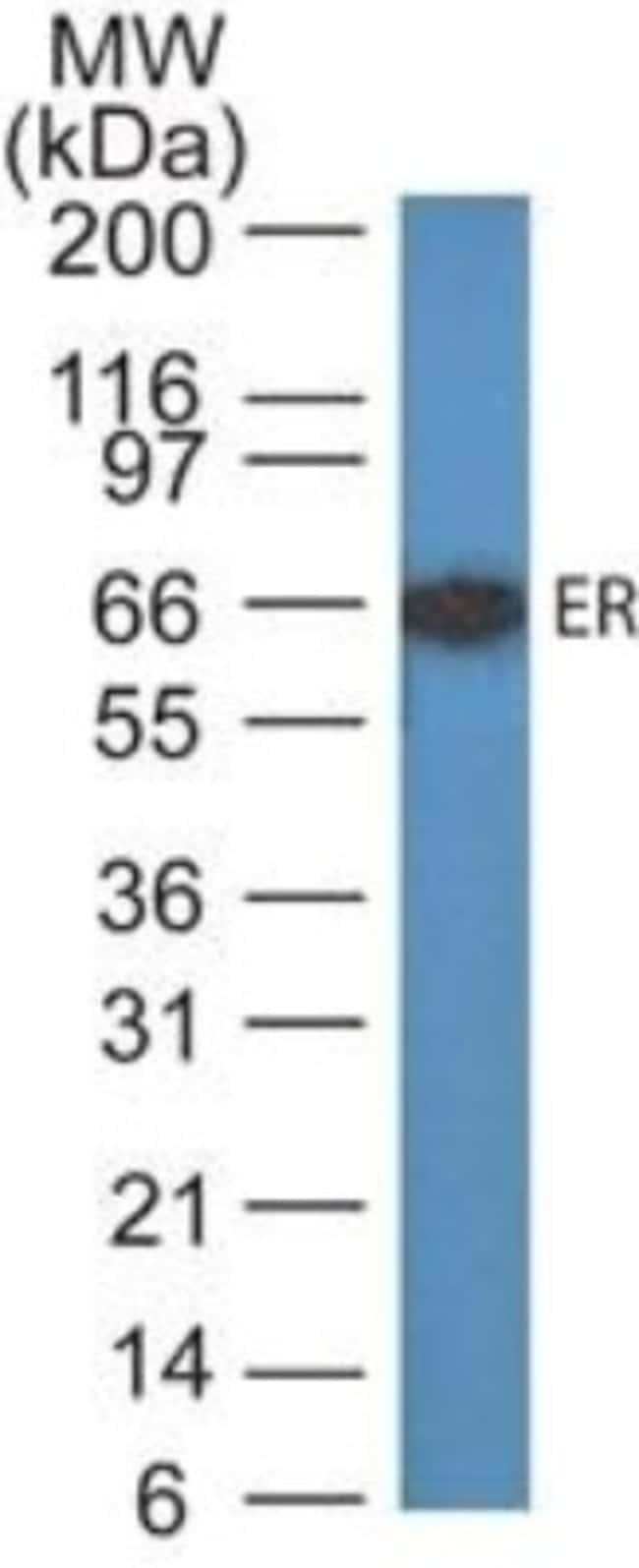 Mouse anti-ER alpha/NR3A1, Clone: ER505, Novus Biologicals:Antibodies:Primary