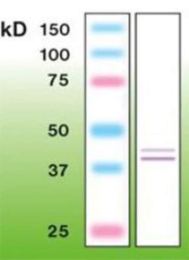 Rabbit anti-ERK1/2, Clone: B20-U, Novus Biologicals 0.1mL; Unlabeled:Life