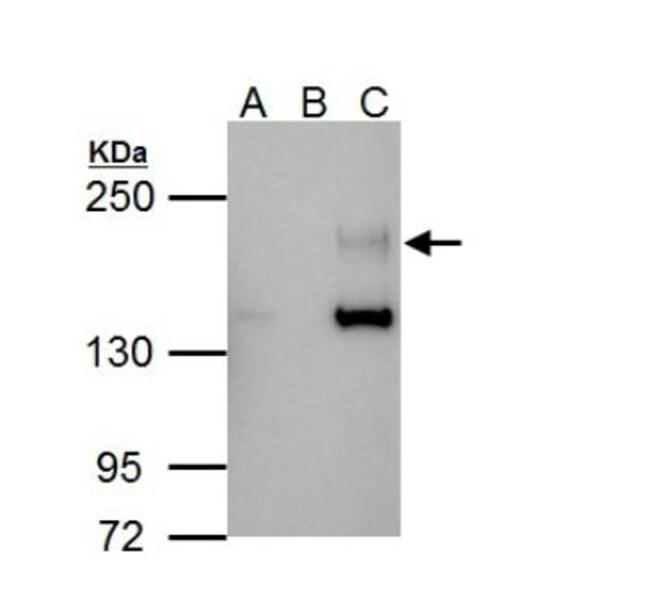 anti-ErbB4/Her4, Polyclonal, Novus Biologicals 0.1mL; Unlabeled:Life Sciences