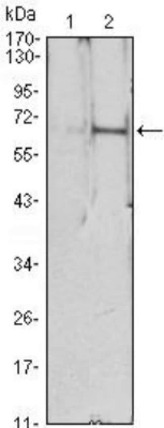 Erythropoietin/EPO Mouse anti-Human, Clone: 4F11, Novus Biologicals 0.1mL;