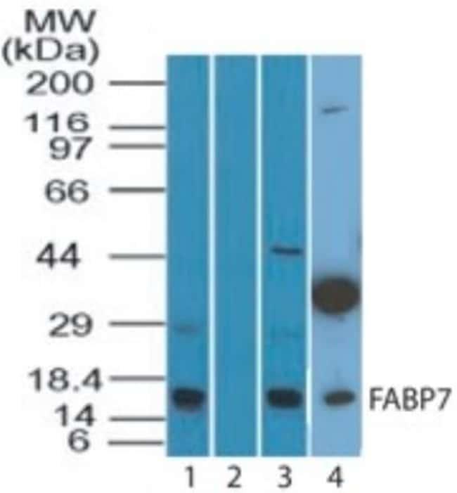 anti-FABP7/B-FABP, Polyclonal, Novus Biologicals:Antibodies:Primary Antibodies