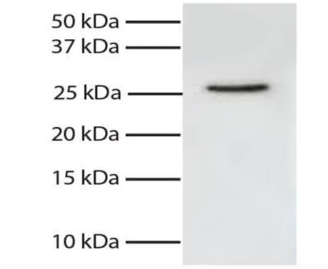 anti-FADD, Clone: 1A11, Novus Biologicals 0.1mg; Unlabeled:Antibodies