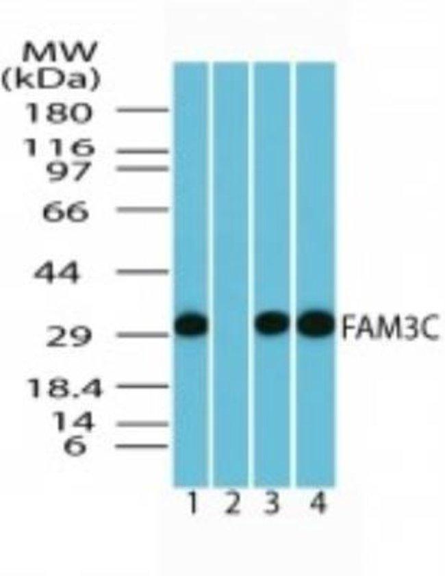 anti-FAM3C, Polyclonal, Novus Biologicals:Antibodies:Primary Antibodies