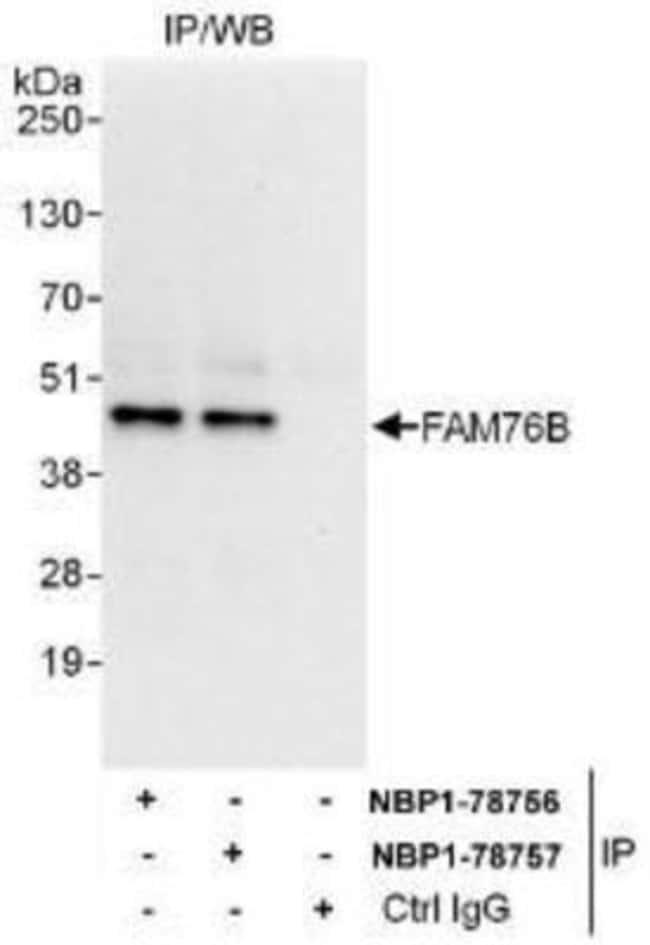 anti-FAM76B, Polyclonal, Novus Biologicals 0.1mg; Unlabeled:Life Sciences