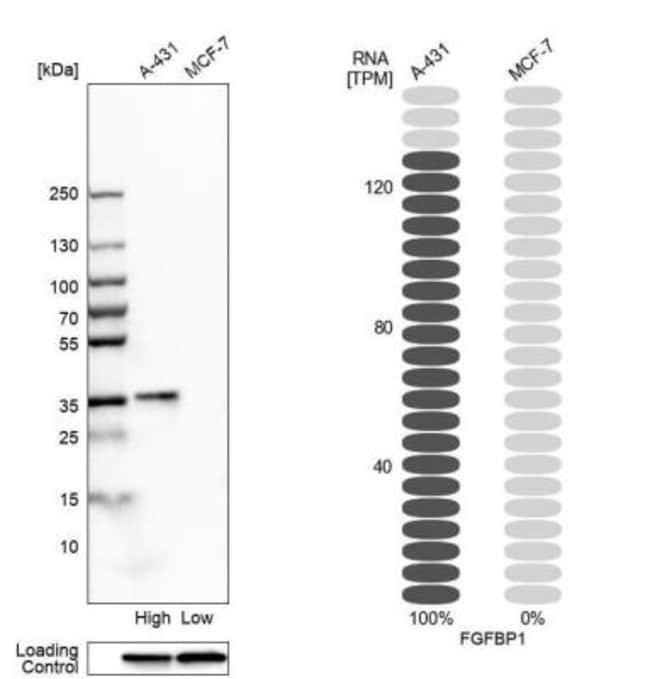 anti-FGF-BP, Polyclonal, Novus Biologicals 0.1mL; Unlabeled:Life Sciences