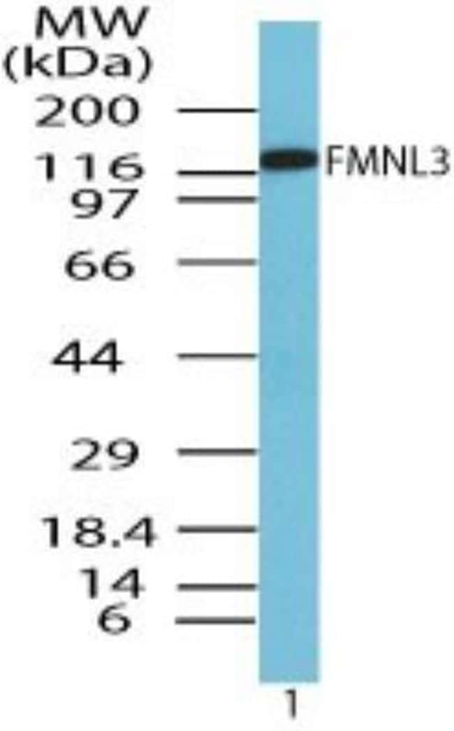 FMNL3 Rabbit anti-Human, Mouse, Rat, Canine, Equine, Primate, Rhesus Macaque,
