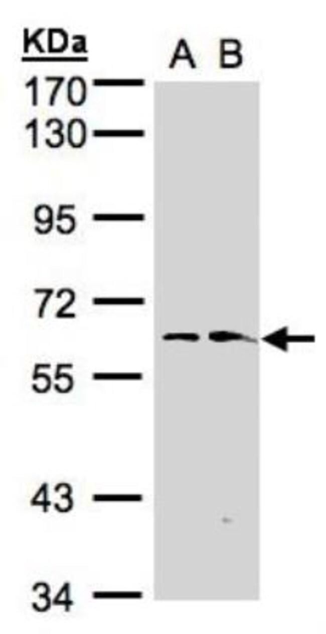 anti-FMO1, Polyclonal, Novus Biologicals 0.1mg; Unlabeled:Life Sciences