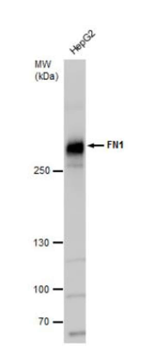 anti-Fibronectin/Anastellin, Polyclonal, Novus Biologicals 0.1mg; Unlabeled:Life
