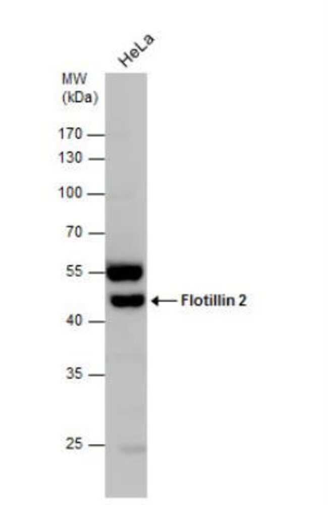 anti-Flotillin 2, Polyclonal, Novus Biologicals 0.1mg; Unlabeled:Life Sciences