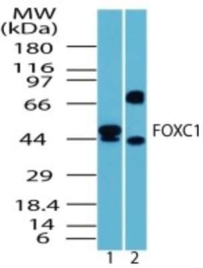 anti-FoxC1, Polyclonal, Novus Biologicals:Antibodies:Primary Antibodies
