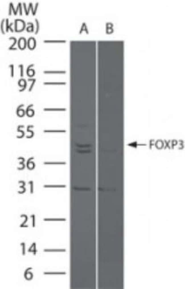 FoxP3 Rabbit anti-Human, Rat, Polyclonal, Novus Biologicals:Antibodies:Primary