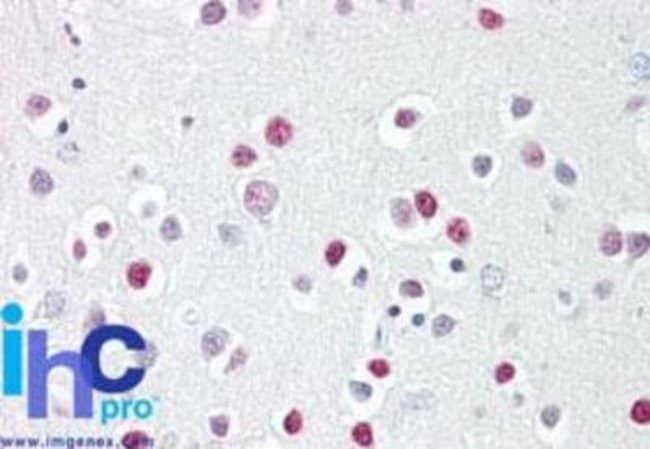 anti-GATA-4, Polyclonal, Novus Biologicals:Antibodies:Primary Antibodies