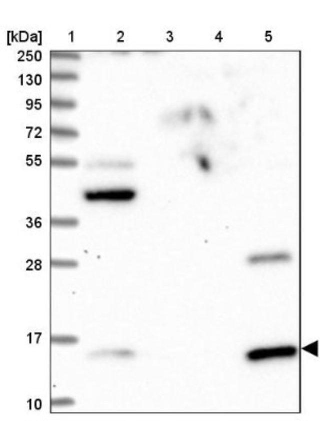 anti-GCSH, Polyclonal, Novus Biologicals 0.1mL; Unlabeled:Life Sciences