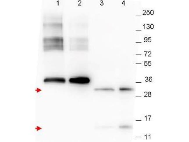 GDF-15 Mouse anti-Human, Clone: 23B3.D2.H5, Novus Biologicals 0.1mg; Unlabeled:Life
