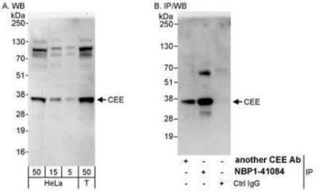 anti-GET4, Polyclonal, Novus Biologicals 0.1mL; Unlabeled:Antibodies