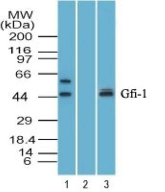 anti-GFI-1, Polyclonal, Novus Biologicals:Antibodies:Primary Antibodies