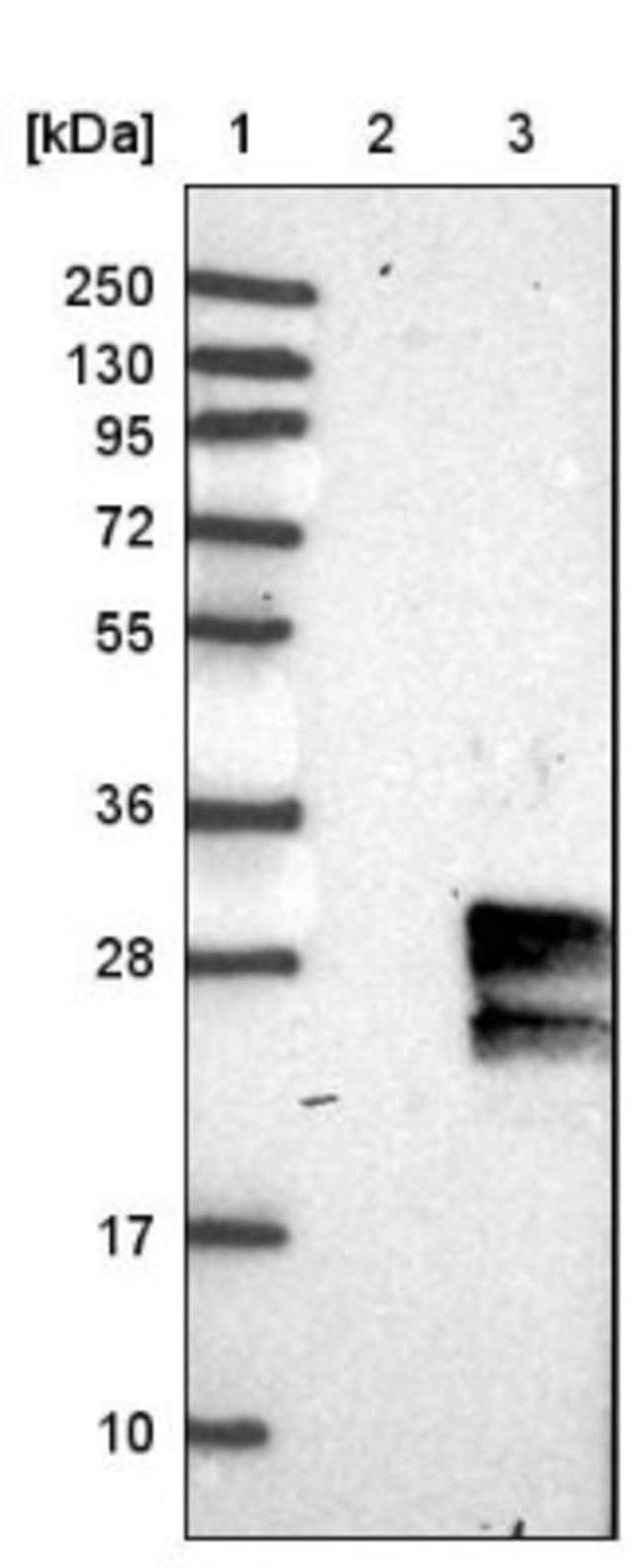 anti-GIMAP2, Polyclonal, Novus Biologicals 0.1mL; Unlabeled:Life Sciences