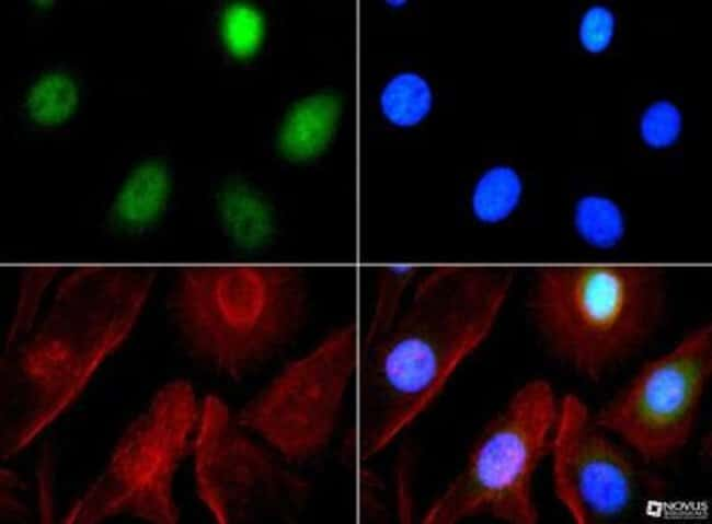 anti-GLP/EHMT1, Polyclonal, Novus Biologicals:Antibodies:Primary Antibodies