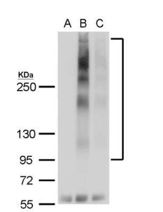 GPER/GPR30 Rabbit anti-Human, Mouse, Rat, Polyclonal, Novus Biologicals