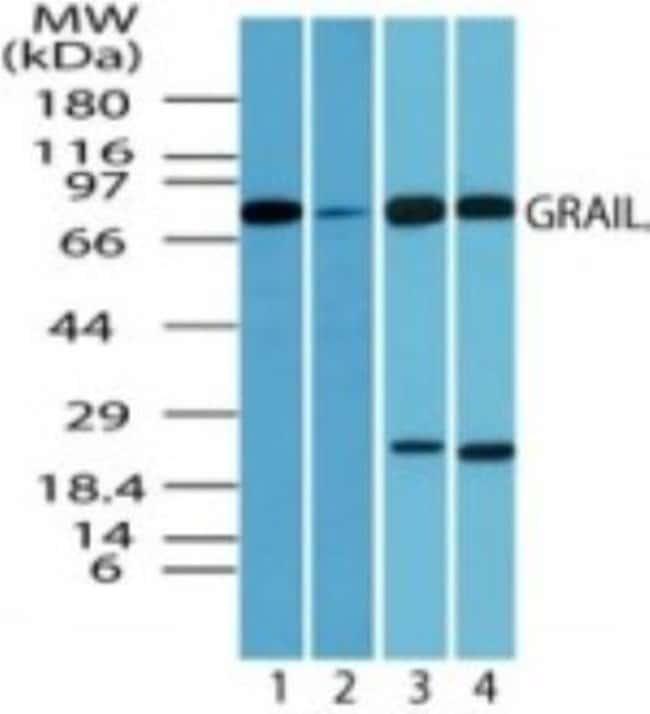anti-GRAIL/RNF128, Polyclonal, Novus Biologicals:Antibodies:Primary Antibodies