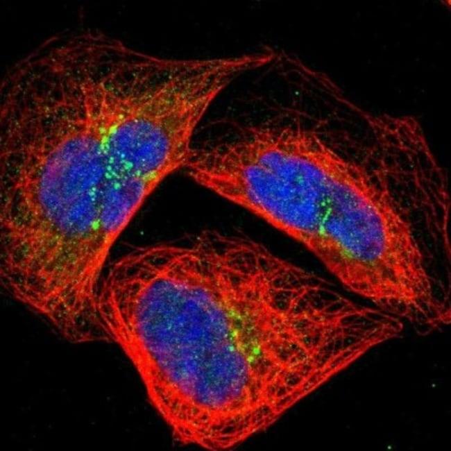 anti-GRAMD3, Polyclonal, Novus Biologicals 0.1mL; Unlabeled:Life Sciences