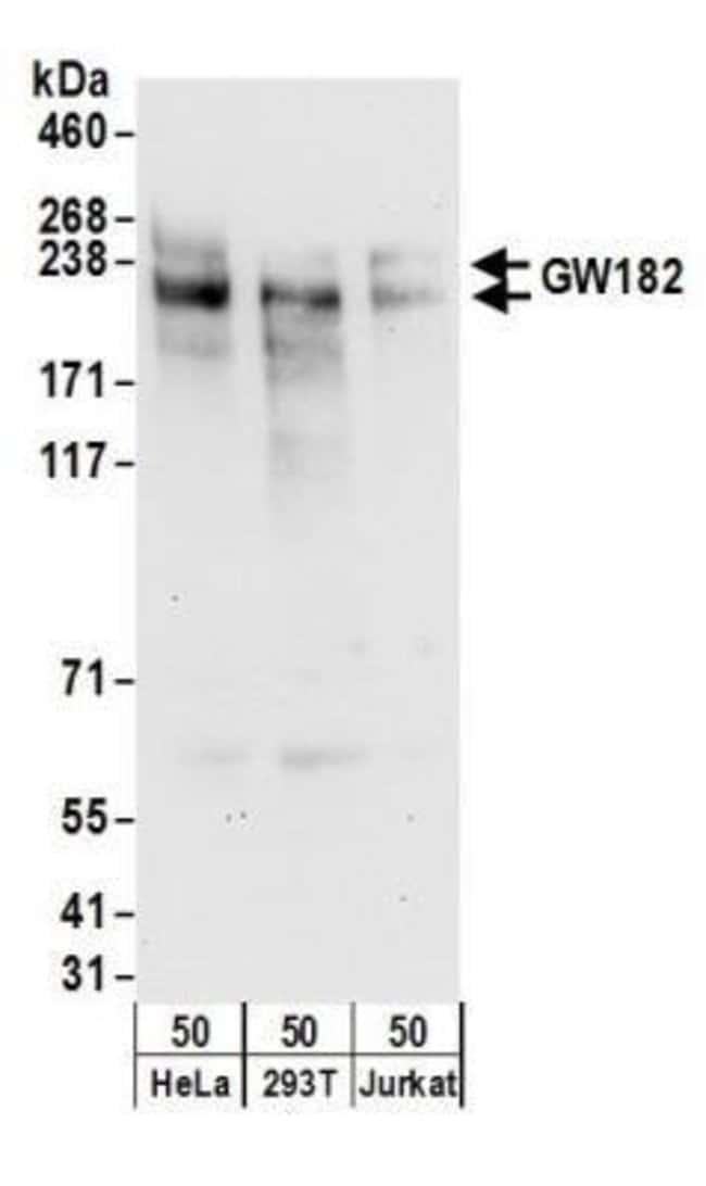 anti-GW182, Polyclonal, Novus Biologicals 0.1mg; Unlabeled:Life Sciences