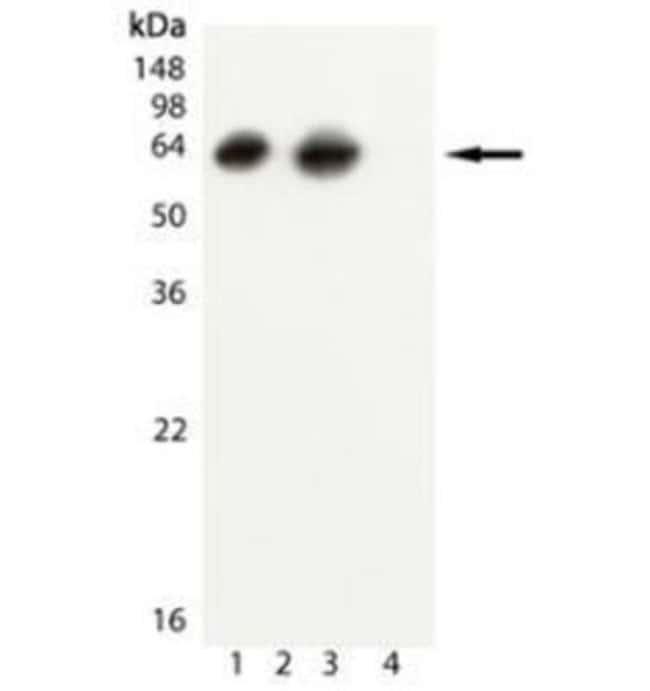 GroEL Mouse anti-E. coli, Clone: 9A1/2, Novus Biologicals:Antibodies:Primary