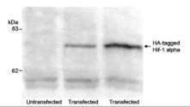 anti-HA Epitope Tag, Polyclonal, Novus Biologicals:Antibodies:Primary Antibodies