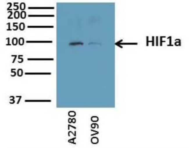 HIF-1 alpha Rabbit anti-Human, Mouse, Rat, Bovine, Canine, Guinea Pig,