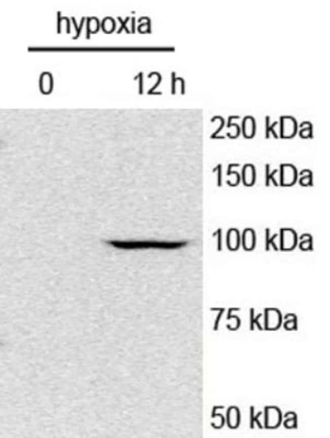 anti-HIF-1 alpha, Polyclonal, Novus Biologicals:Antibodies:Primary Antibodies