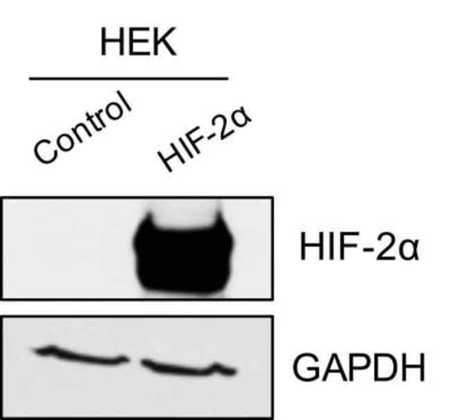 anti-HIF-2 alpha/EPAS1, Polyclonal, Novus Biologicals:Antibodies:Primary